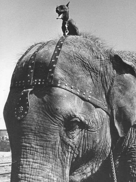 . SEP 2 1964 - Fly on an Elephant\'s Head. The dog\'s name is Fly and he always rides on the head of Targa, one of 18 elephants with the Ringling Bros, and Barnum and Bailey Circus which opens at 8 p.m. Wednesday at the Denver Coliseum. The circus will continue its Denver run through Monday. Targa is the top performing elephant of the world famous circus. (David Mathias/The Denver Post)