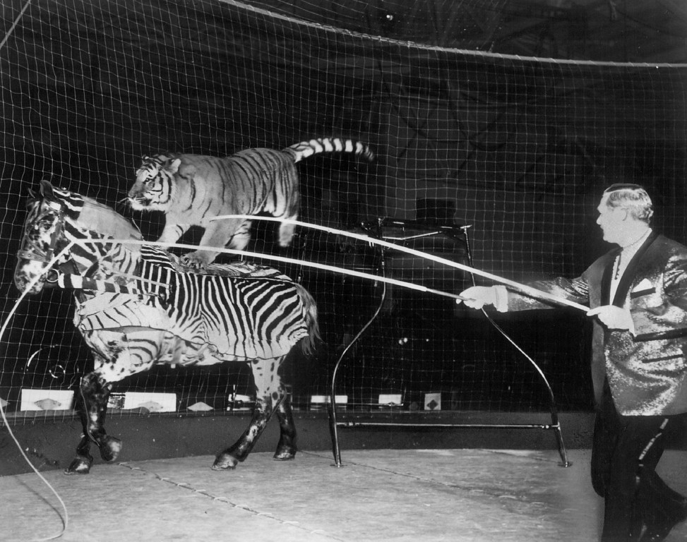 """. SEP 8 1966 - Billed as the \""""most dangerous and dazzling animal act in circus history,\"""" Adolph Althoff\'s Siberian tiger performs with and rides.on his mortal enemy, a horse, during the Ringling Brothers and Barnum & Bailey Circus, which winds up a five-day stand at the Denver Coliseum today. (Denver Post digital archive photo)"""