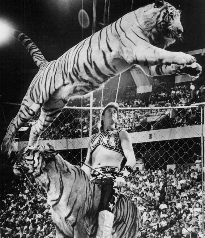 . SEP 29 1986 - America\'s own Wade Burck presents awesome rare white Bengal and gold Siberian tigers in all-new 116th edition of Ringling Bros. and Barnum & Bailey circus. (Denver Post digital archive photo)