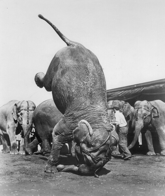 . AUG 11 1955 - Ruth, elephant herd leader of the Ringling Brothers Barnum i Bailey circus, does a graceful headstand in rehearsal or Denver performances Friday and Saturday. (Denver Post digital archive photo)