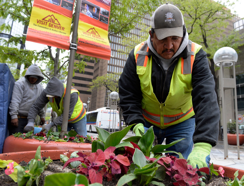 . DENVER, CO - MAY 17: Juan Ramiriez, right, and fellow crew members from creativexteriors in Lakewood, plant thousands of flowering and other annuals in the large colorful planters from end to end along the 16th Street Mall in downtown Denver on Tuesday, May 17, 2016. It takes the workers about three days to fill every pot, and they say they are about a week behind their regular planting schedule because of the weather. (Photo by Kathryn Scott Osler/The Denver Post)