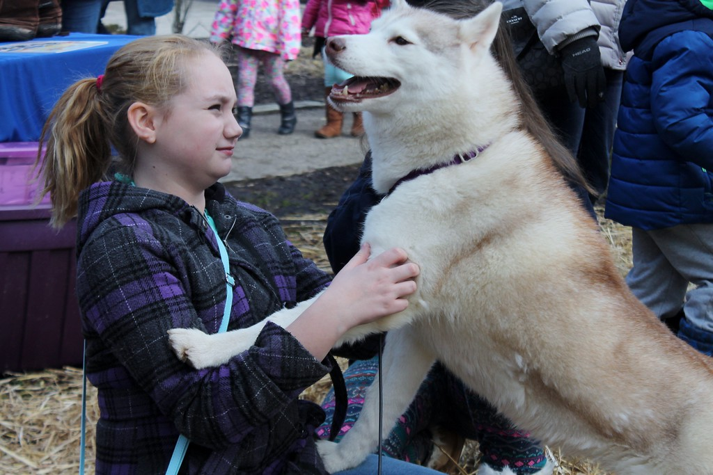 . Baily Rudolph, 12, of Novelty, plays with Siberian Husky Penelope, during The Geauga Parks Frozen Fest. (Kristi Garabrandt/The News-Herald)