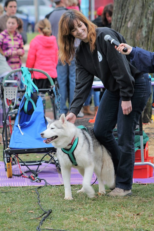 . Siberian Huskey Club vice-president demonstrate how she harnesses her dog charm to the sled. (Kristi Garabrandt/The News-Herald)