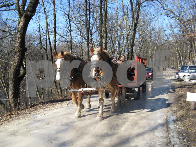 Horse-drawn wagons carry Winterfest attendees Saturday at the Russell Woods Forest Preserve in Genoa.