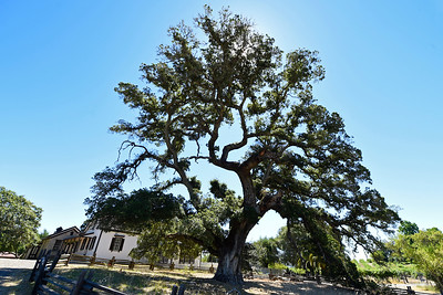 A large Oak tree located in front of the Cottage where Jack London lived with his wife Charmian London at Jack London State Historic Park in Glen Ellen, Calif., on Monday, June 27, 2016. (Jose Carlos Fajardo/Bay Area News Group)
