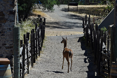 A deer wanders the property at Jack London State Historic Park in Glen Ellen, Calif., on Monday, June 27, 2016. (Jose Carlos Fajardo/Bay Area News Group)