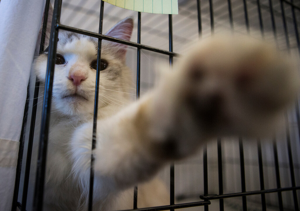 . One of the cats available for adoption at the library in Foster City, Calif., on Saturday, Feb. 1, 2014. (John Green/Bay Area News Group)