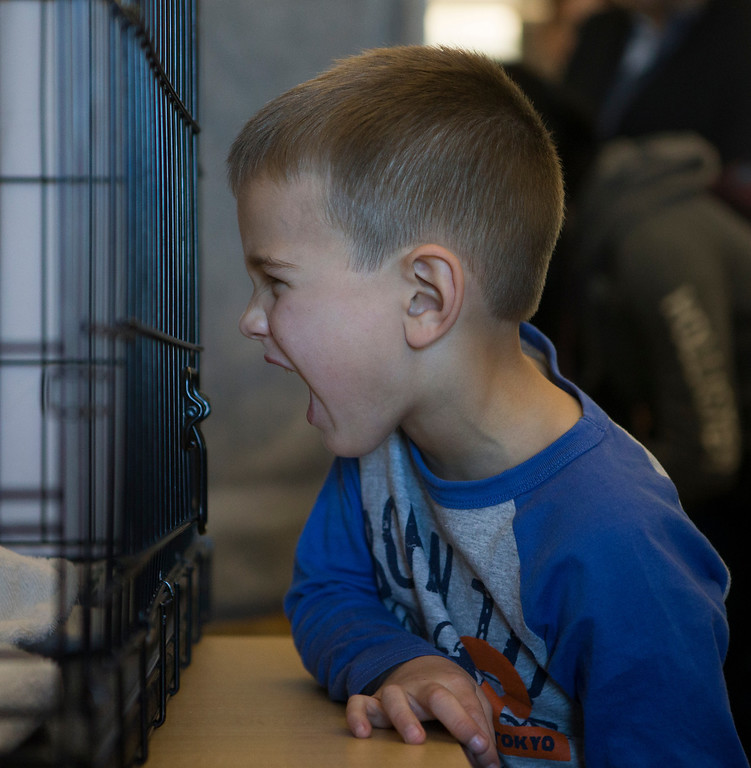 . Victor Chapas, 5, growls at one of the cats up for adoption at the library in Foster City, Calif., on Saturday, Feb. 1, 2014. (John Green/Bay Area News Group)
