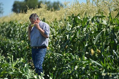 Glenn Stonebarger bites into a ear of sweet corn as his crews harvest sweet corn at G&S Farms in Brentwood, Calif., on Friday, June 24, 2016. (Dan Honda/Bay Area News Group)