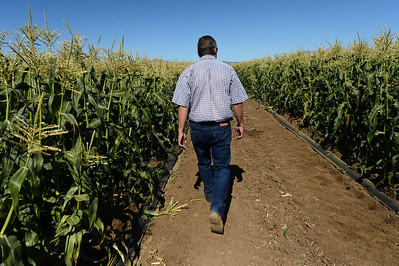 Glenn Stonebarger walks through some of his corn fields as his crews harvest sweet corn at G&S Farms in Brentwood, Calif., on Friday, June 24, 2016. (Dan Honda/Bay Area News Group)