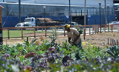 Joseph Davis, farm manager, harvest Italian kale and lettuces at City Slicker Farms in Oakland, Calif., on Friday, June 24, 2016. This urban farm grows and sells their produce on site in a totally urban setting. (Dan Honda/Bay Area News Group)