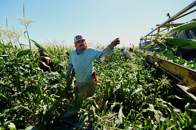 Jose Martinez harvests sweet corn at G&S Farms in Brentwood, Calif., on Friday, June 24, 2016. (Dan Honda/Bay Area News Group)