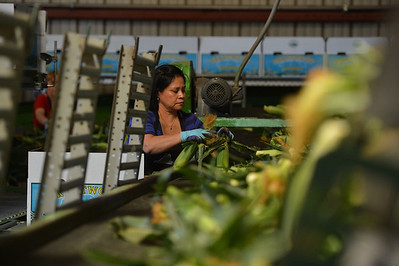 Maria Guadalupe Valdez packs sweet corn in the packaging shed at G&S Farms in Brentwood, Calif., on Friday, June 24, 2016. (Dan Honda/Bay Area News Group)