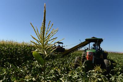 Crews harvest sweet corn at G&S Farms in Brentwood, Calif., on Friday, June 24, 2016. (Dan Honda/Bay Area News Group)