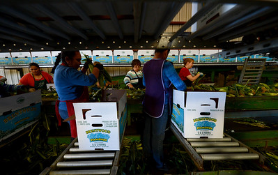 Workers box corn in the packaging shed at G&S Farms in Brentwood, Calif., on Friday, June 24, 2016. (Dan Honda/Bay Area News Group)