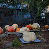 GIANT PUMPKIN GROWERS