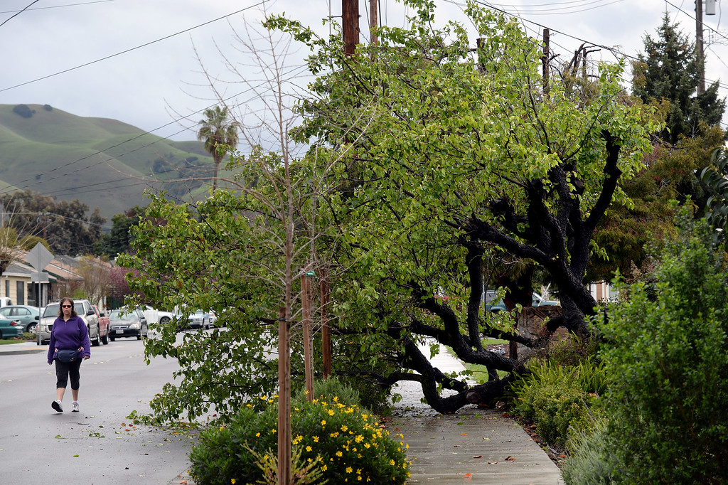 . A woman out for a morning stroll walks around a fallen tree on Niles Boulevard in the Niles neighborhood in Fremont, Calif., on Friday, Feb. 28, 2014. Heavy rain and strong winds hit the Bay Area in the early morning hours. (Dan Honda/Bay Area News Group)