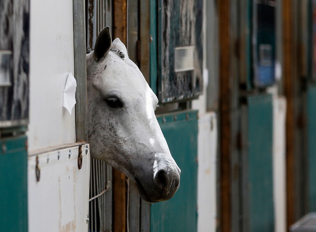 . A horse stands in stall at the 43 annual Menlo Charity Horse Show at the Menlo Circus Club. (John Green/Bay Area News Group)