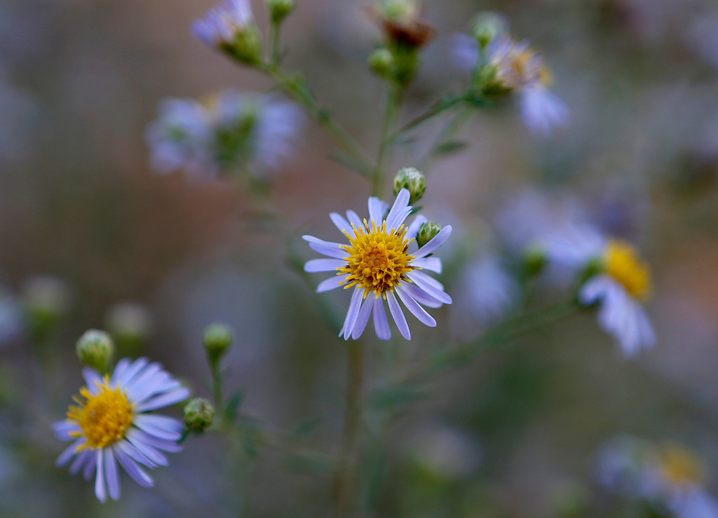 . Flowers at the Ulistac Natural Area in Santa Clara, Calif. on Thursday, Sept. 19, 2013.  The 49ers and the city of Santa Clara are proposing to develop part of a 40-acre natural open space into soccer fields to make way for extra parking next to the new stadium.  (Nhat V. Meyer/Bay Area News Group)