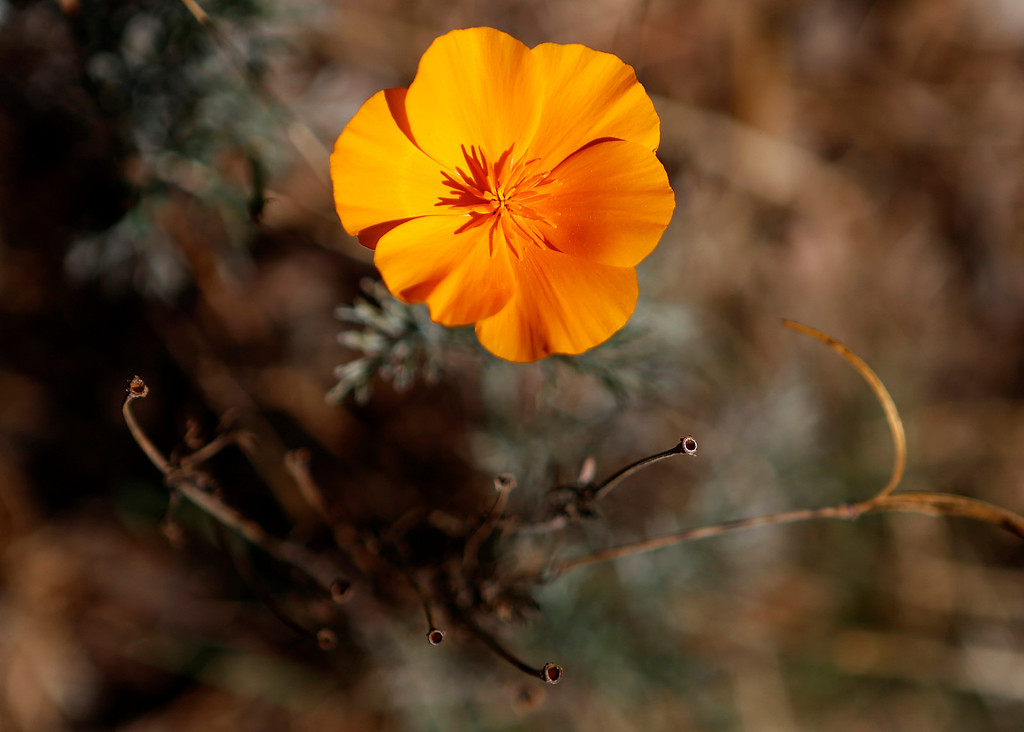 . A flower at the Ulistac Natural Area in Santa Clara, Calif. on Thursday, Sept. 19, 2013.  The 49ers and the city of Santa Clara are proposing to develop part of a 40-acre natural open space into soccer fields to make way for extra parking next to the new stadium.  (Nhat V. Meyer/Bay Area News Group)