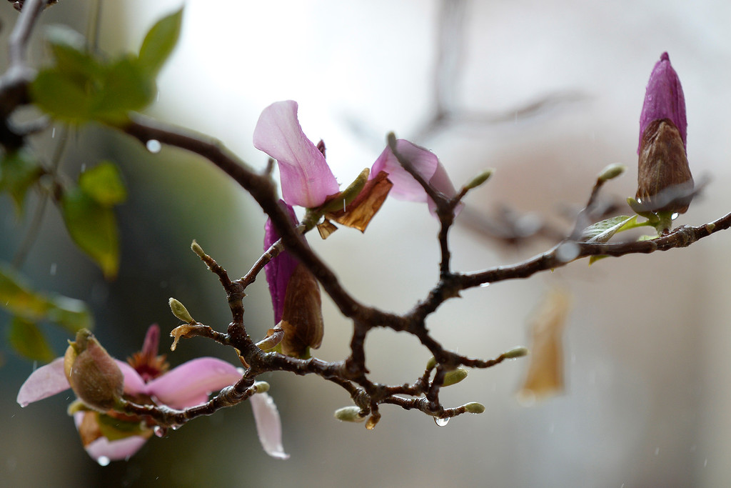 . Rain drops trickle down a tree branch at Broadway Plaza in Walnut Creek, Calif., on Saturday, Feb. 8, 2014. (Jose Carlos Fajardo/Bay Area News Group)