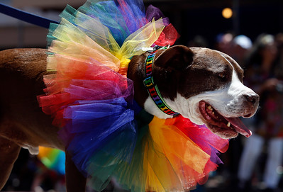 A pit bull from Bad Rap Rescue marches during the SF Pride parade on Sunday, June 26, 2016, in San Francisco, Calif. (Karl Mondon/Bay Area News Group)