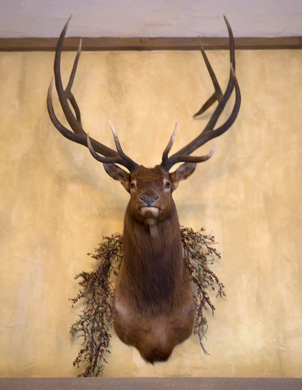 . A stuffed elk\'s head is displayed in the great room in Paul Masson\'s chateau in the hills above Saratoga, Calif., Thursday, Sept. 1, 2016. The house, on three acres, is on the market for $7 million and it is where Masson once entertained friends like Charlie Chaplin and John Steinbeck.  (Patrick Tehan/Bay Area News Group)