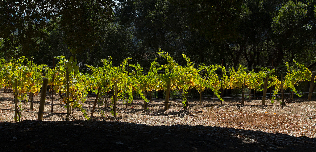 . A vineyard at Paul Masson\'s chateau in the hills above Saratoga, Calif., photographed Thursday, Sept. 1, 2016. The house, on three acres, is on the market for $7 million and it is where Masson once entertained friends like Charlie Chaplin and John Steinbeck.  (Patrick Tehan/Bay Area News Group)