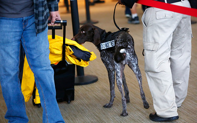 Gera, of the TSA K9 team, sniffs bags at the security checkpoint in Terminal B at Mineta San Jose International Airport in San Jose, Calif., on Tuesday, April 12, 2016. A nationwide shortage of security personnel and the higher security level following the Belgium terrorist attacks has caused longer than usual boarding times. (Gary Reyes/Bay Area News Group)