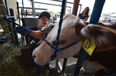 """Gage Santucci, 7, of Livermore, gives grooming his Hereford cow a try at the Alameda County Fair at the Alameda County Fairgrounds in Pleasanton, Calif., on Wednesday, June 15, 2016. The fair, which opened on Wednesday with $1day, will run through July 4th. Check their website for hours and days of operation. Santucci was a little too young to really groom his cow """"Rosie"""" who he has entered into the open breeder competition. (Dan Honda/Bay Area News Group)"""