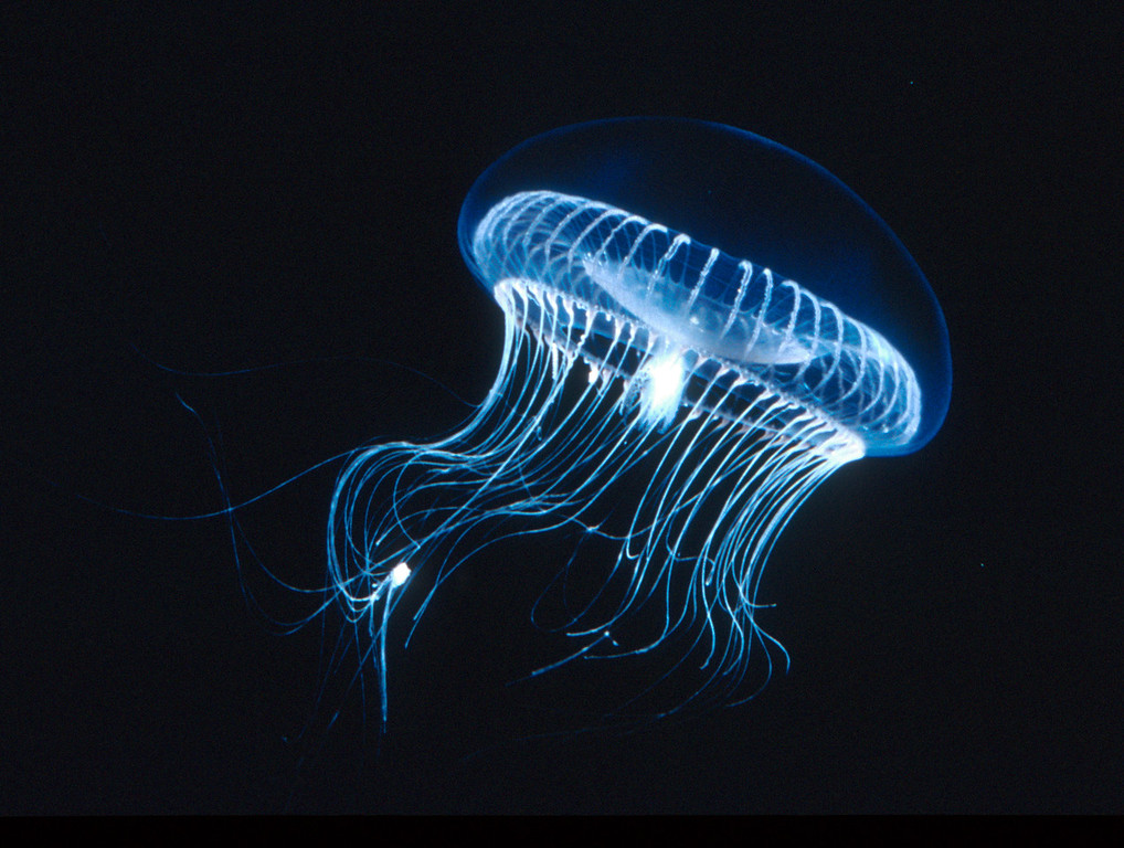 . Aequorea are found in Monterey Bay but are more common in coastal waters further north. The rim of their bells glows with a green biolumescent protein that has been used in the biotechnology industry. (Kevin Raskoff/MBARI)