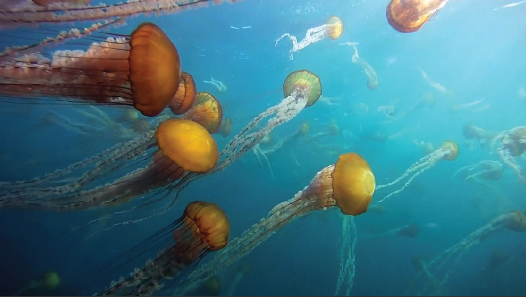 . Pictured is a swarm of black sea nettles in Monterey Bay. (MBARI)