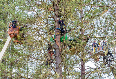 A CHP officer has rappelled down the tree from above toward Katz, who is also suspended in the tree. Photo by Steve Eberhard