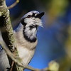 Blue Jay calling