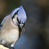 Blue jay crest of head