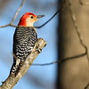 Reb bellied woodpecker perched