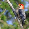 Red bellied woodpecker perched