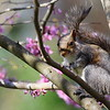 Grey squirrel perched in eastern red bud tree