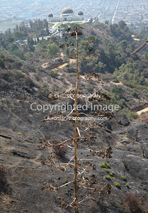 Fire ravaged landscape with Griffith Park Observatory in distance.