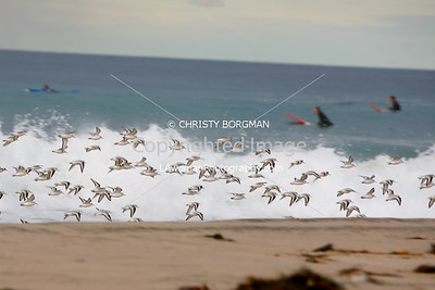 Birds and surfers at Zuma Beach
