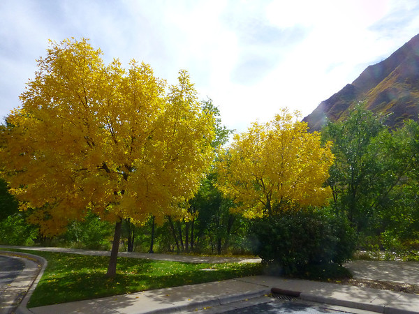 Glenwood Yellow Tree