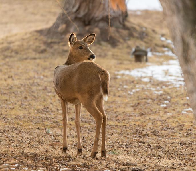 03-12-2018-deer_(1_of_3)