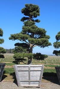 Pinus sylvestris, Poodle 9 ft #60 Box