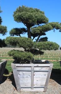 Pinus sylvestris, Poodle 7 ft #60 Box