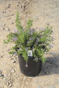 Rosmarinus officinalis 'Irene' #1