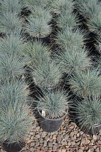 Grass, Festuca c  'Beyond Blue' #1 Group