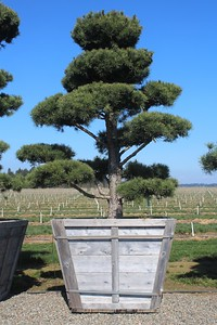 Pinus sylvestris, Poodle 8 ft #60 Box