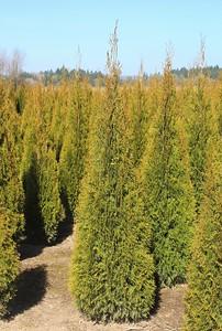 Thuja occ  'Emerald Green' (field grown) 5-6 ft
