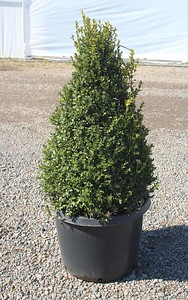 Buxus sempervirens, Pyramid (field grown) 30-36 in #25