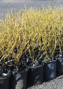 Cornus alba 'Bud's Yellow' #5